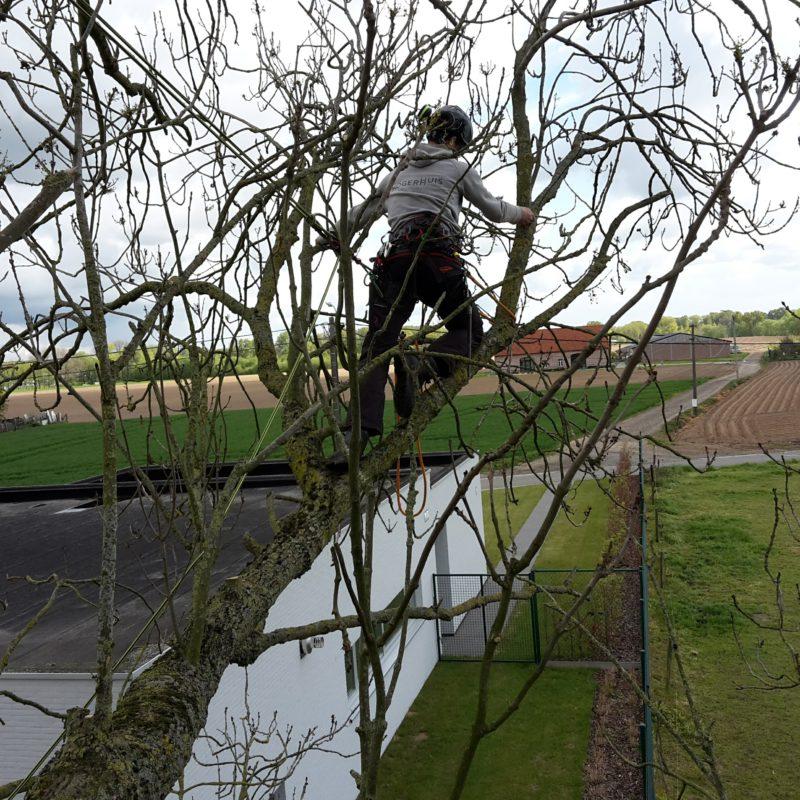 boomverzorging van een boom met een persoon erin