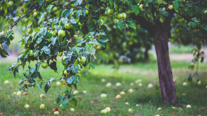 een appelboom die door boomverzoring veel appels laat vallen