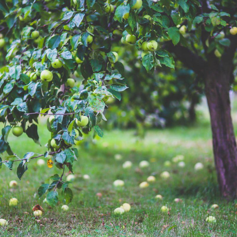 Snoeien van fruitbomen door hofheren