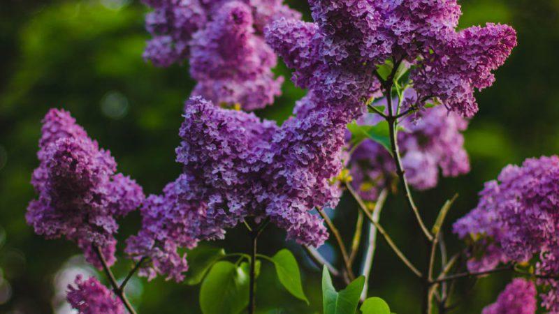 tuinonderhoud van planten en struiken, struik met paarse bloei