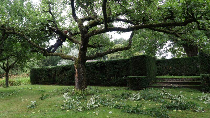 een boom die door een persoon wordt gesnoeid